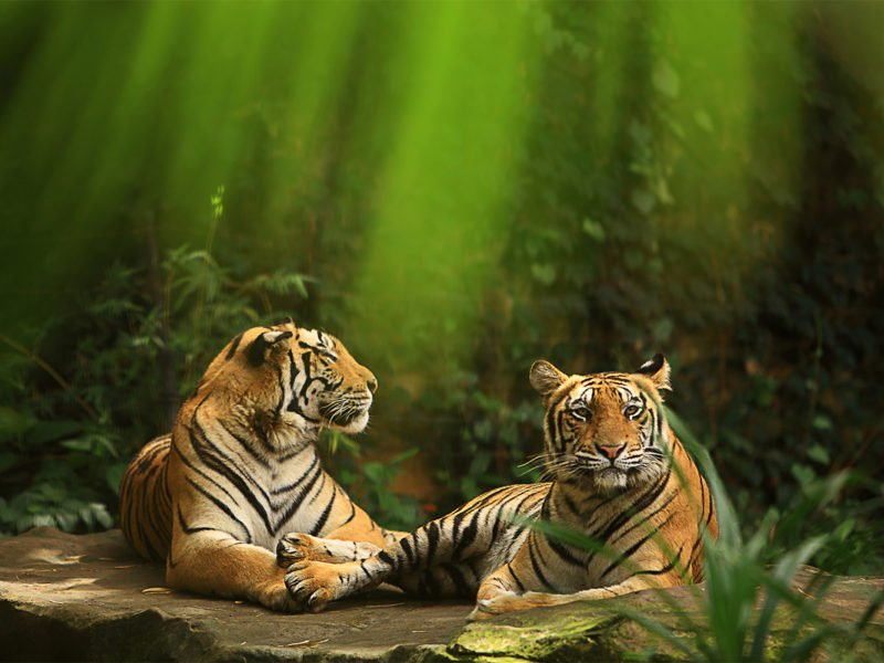 two tigers bathed in green
