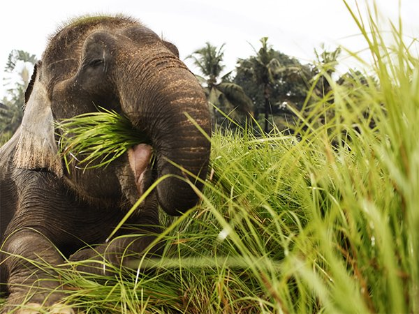 Feed a Sumatran elephant