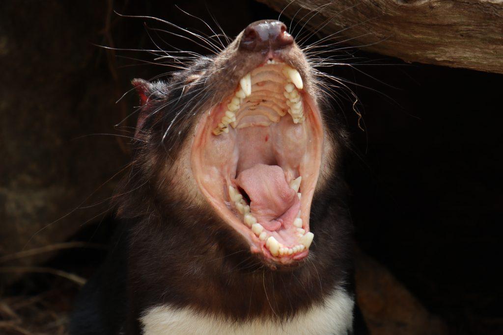 Go Wild Tasmanian Devil