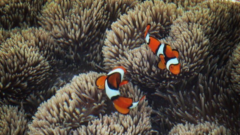 Nemo-Fish-in-Sea-Anemone-e1551919012902
