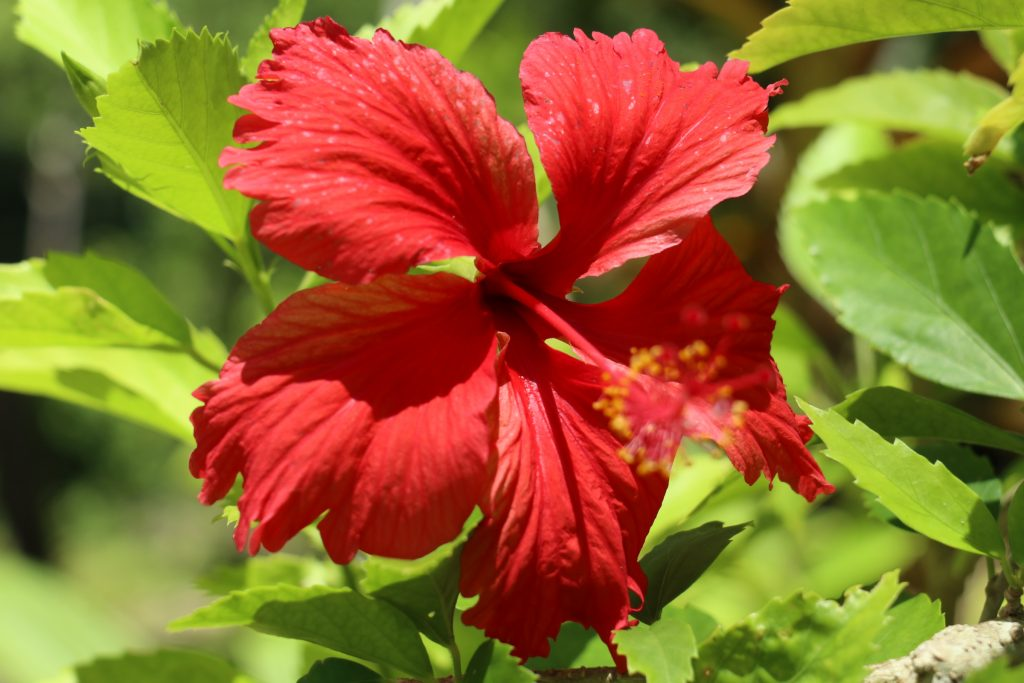Why take kids to Solomons - red hibiscus